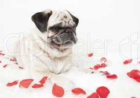 Pug on blanket with rose flowers