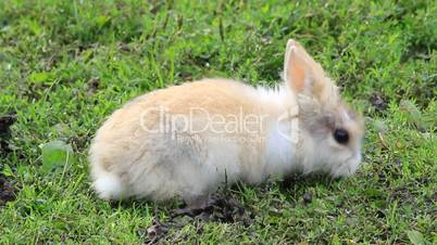rabbit baby outside on a yard eats grass