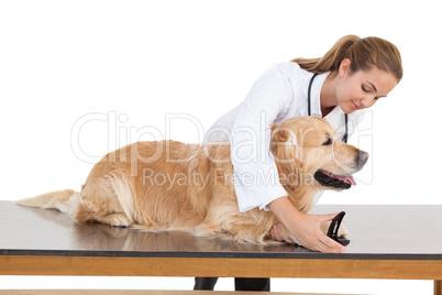 Vet clipping a labradors nails