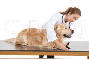 Vet clipping a labradors nails