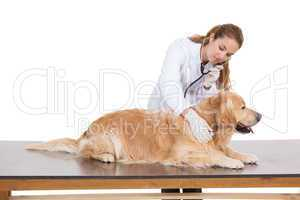 Vet checking a labradors heartbeat