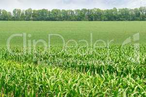 corn field with the young shoots