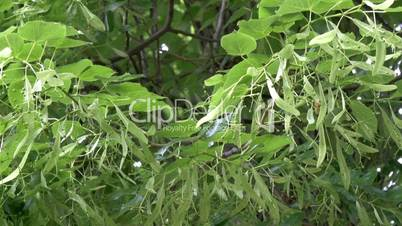 A Tilia Cordate or Small-leaved Lime tree GH4 4K