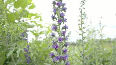 A Blueweed plant in a garden FS700 4K RAW Odyssey 7Q
