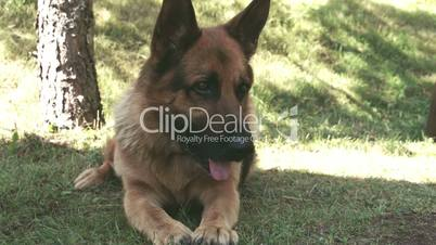 A big GSD or German sheperd sitting on the grass of the yard FS700 Odyssey 7Q 4K