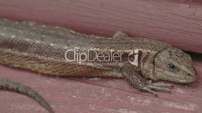 A brown long tail common lizard stuck on the wood