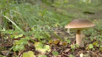 One Leccinum mushroom with golden brown in color FS700 4K