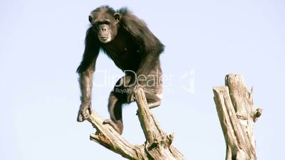 Pan troglodytes or chimpanzee is going down from the tree FS700 4K