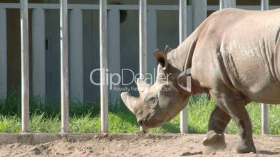 A big brown Rhinoceros walking on the yard FS700 4K