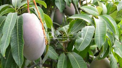 Worker collecting mango fruit hanging in tree manually