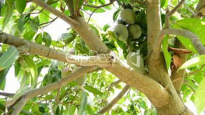 Harvest of mango tropical fruit in a plantation of tropical fruit trees with a pole