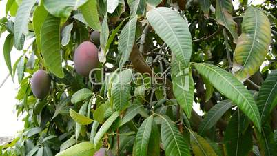 Harvest of mango tropical fruit in a plantation with a pole