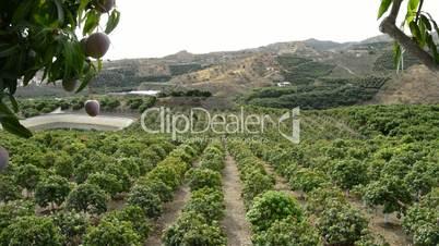 Panoramic of plantation of mango tropical fruit trees