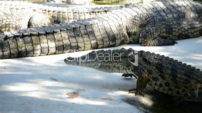 Crocodile or alligator in natural park or zoo