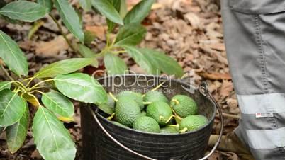 Harvest fruit basket with avocados on pole