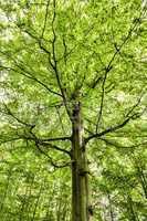 Buche, beech tree