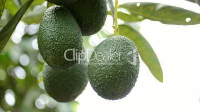 Harvest avocados fruit in a plantation of fruit trees