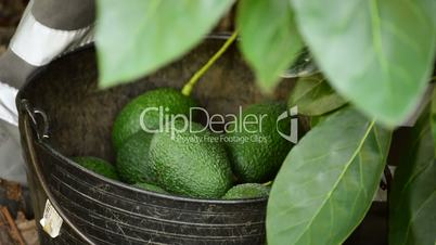Harvest avocados in basket