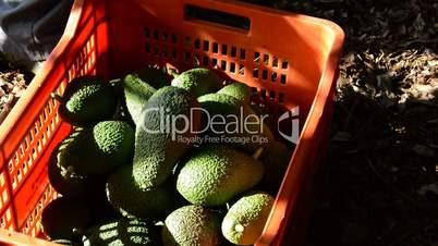 Harvest of avocado fruit in a plantation