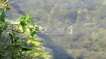 Plant, moss, algae, in the rive