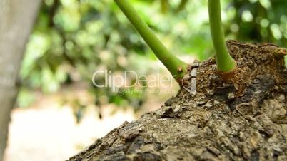 Panoramic of avocado fruit tree in close up