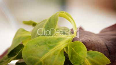 Salad leaves loop. Spinach and other vegetables
