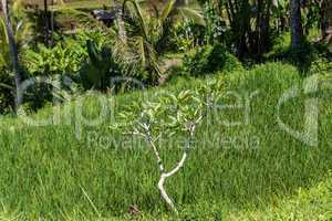 Lush green terraced farmland in Bali