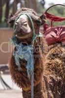 Camel in Marrakesch, Morocco