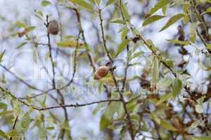 almond nut fruit tree outdoor in sumemr autumn