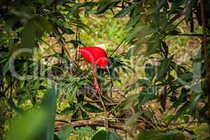 Red ibis in lush greenery