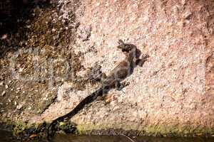 Small monitor lizard sunning on a ledge