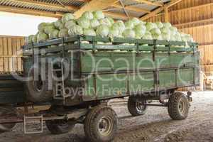 Freshly harvested potatoes and cabbages