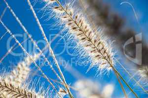 Flowering wild ornamental grass