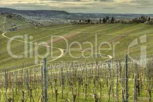 green grapevine in springtime