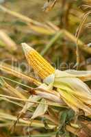Corn on the cob in an agricultural field