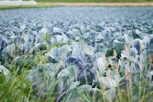 red cabbage on field in summer outdoor