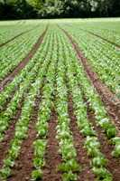 fresh green salad cabbage on field summer agriculture