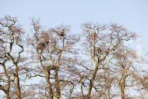 Gray heron colony