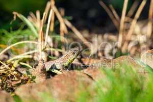 Agile lizard in its natural habitat