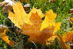 yellow maple leaves on green grass in autumn