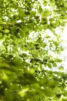 Sun shining through the green leaves on a tree