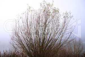 Zweige einer Weide im Nebel