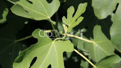 Grow young figs leafs