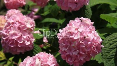 Decorative viburnum flowers