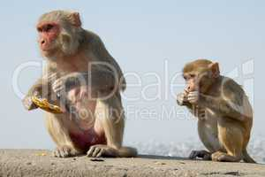 Mother and baby rhesus macaque