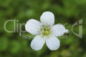 Single little white flower on green