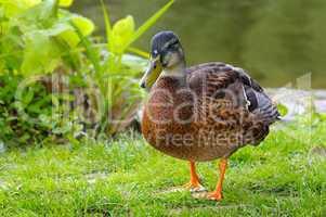 drake, standing on a grass