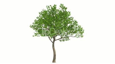 Growth of large green tree. Black and white mask.
