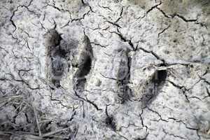 Trittsiegel eines Rehs in Lehm