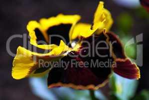 Viola tricolor plant